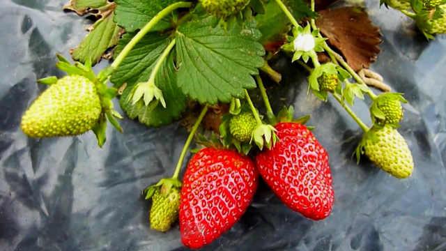 草莓青头、着色不良怎么办?