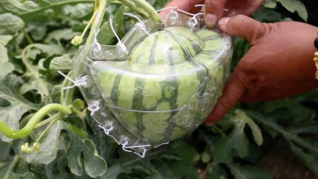 他种异形西瓜,1个卖200售价翻十倍
