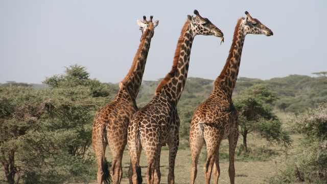 世界上最高的动物——长颈鹿
