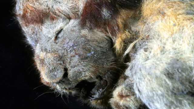 西伯利亚发现3万年前穴狮宝宝遗体