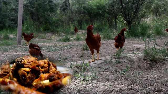 沙漠优质土鸡诞生记:春吃虫秋吃枣