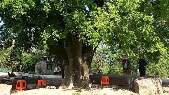 400多岁啦!古皂荚树依旧枝繁叶茂