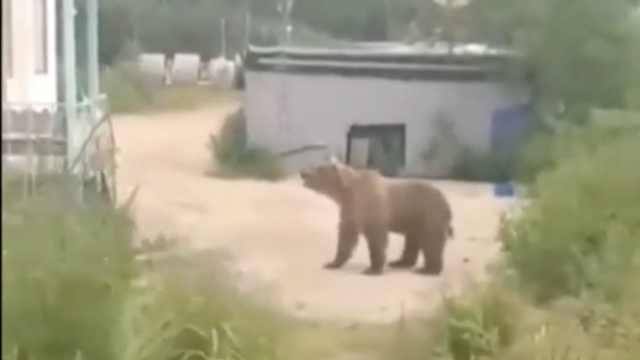 大棕熊來敲門覓食,被滅火器噴懵了