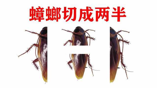"""把""""蟑螂""""切成两半还能活多久"""