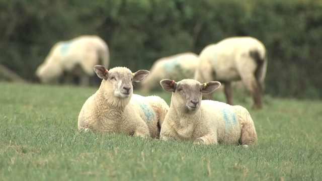 小肥羊吃草有错?英国畜牧业新计划