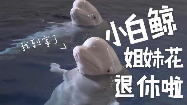 上海白鲸抵冰岛,成保护区首批房客