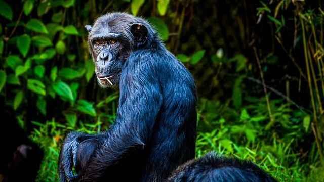 聪明的黑猩猩