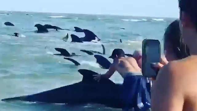 海滩游客帮助搁浅鲸鱼重返大海