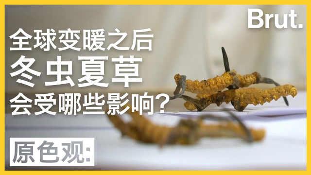 全球变暖后,冬虫夏草会受何影响?