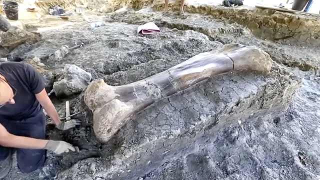 法国发掘巨大恐龙股骨,1.4亿年了